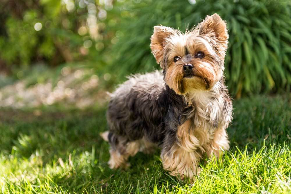 Yorkshire Terrier standing in grass outdoors