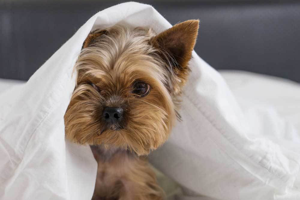 Yorkshire Terrier with head poking out from under white blanket