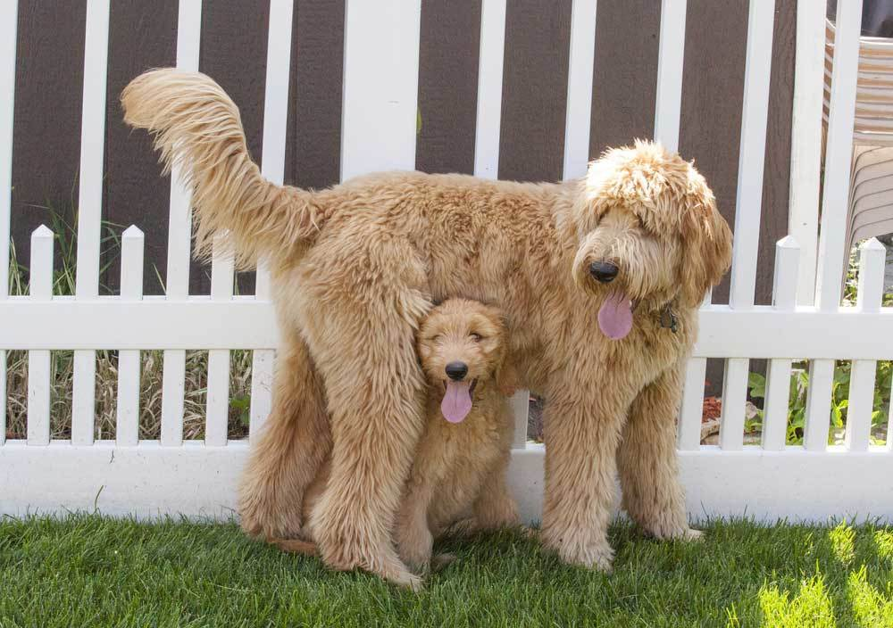 Adult Goldendoodle with puppy