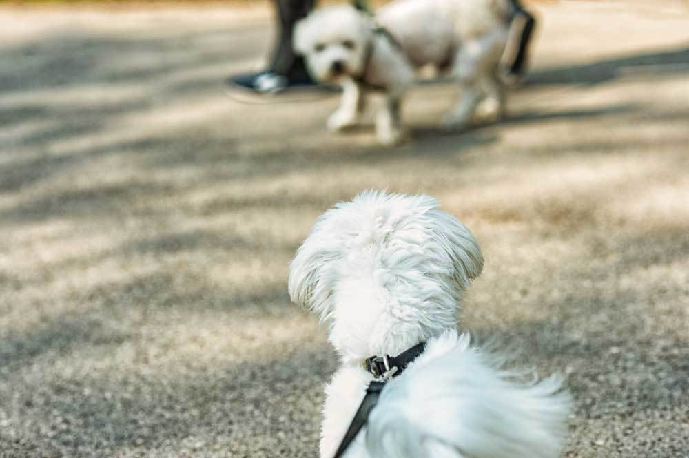 Small dog on leash barking at another small dog on a leash