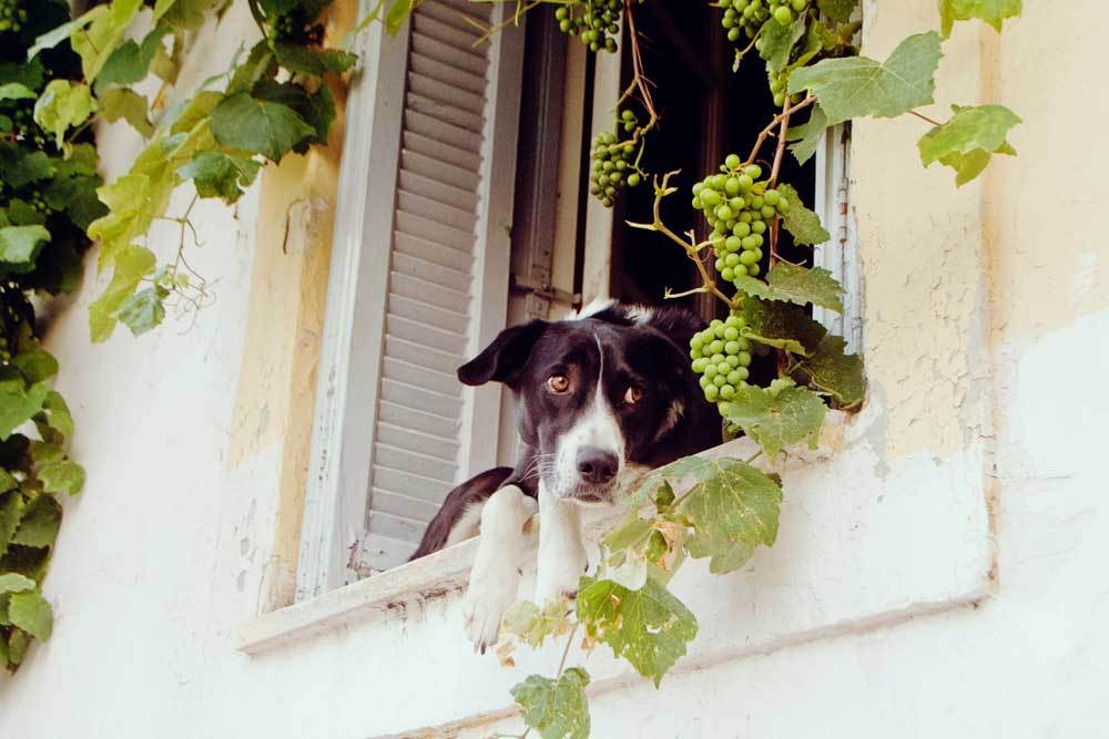 Black and white dog sitting on window sill staring at grape vine.