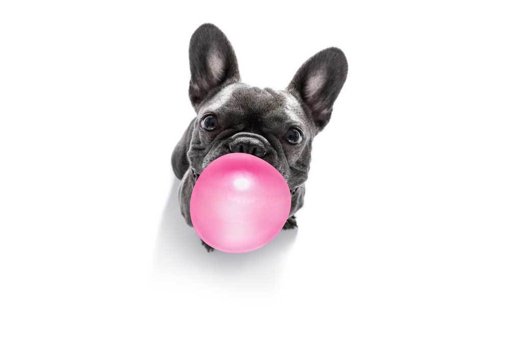 boston terrier blowing a bubble with bubblegum