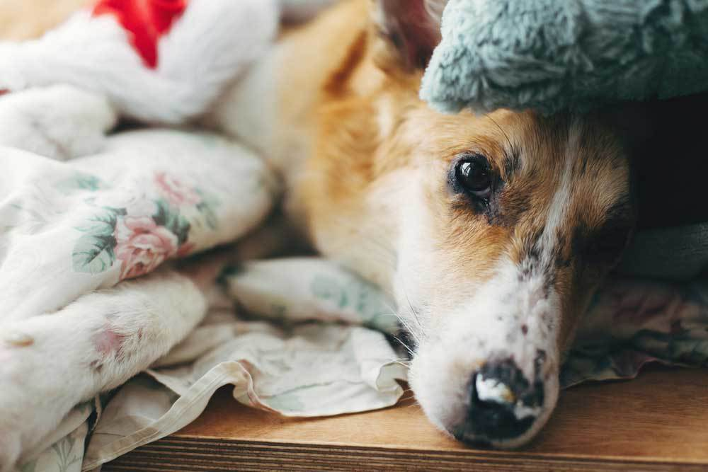 sick dog wrapped in blankets