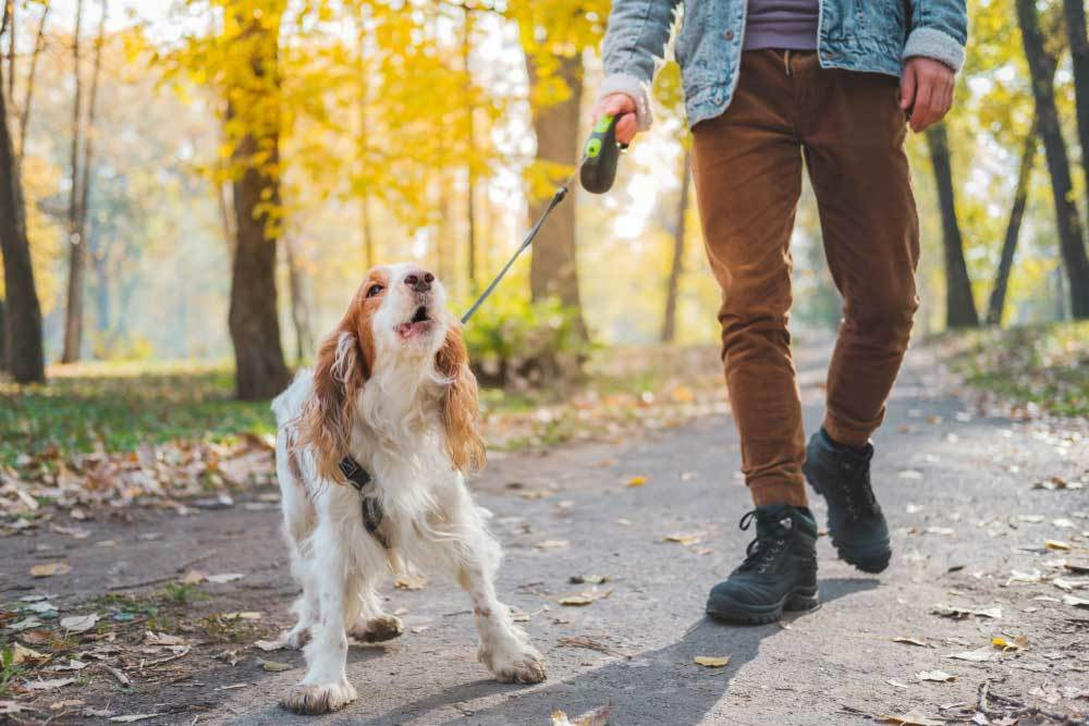 Barking Dog on leash being walked by human