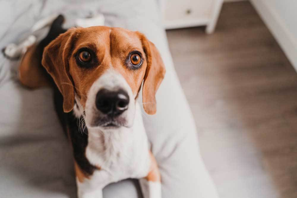 Beagle with wide eyes staring at camera