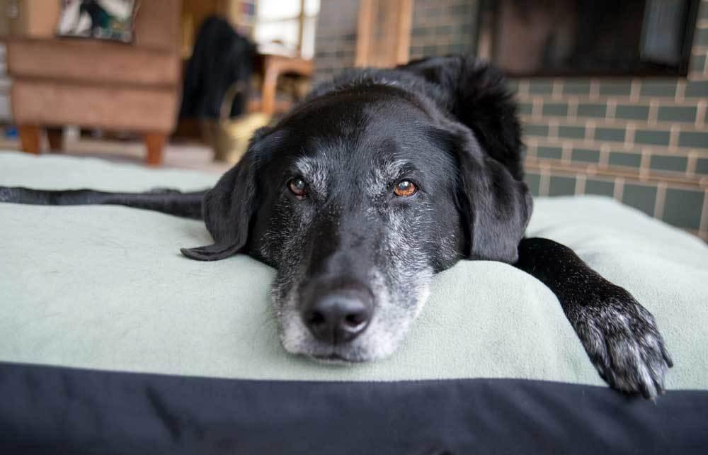Black dog with graying muzzle laying on dog bed