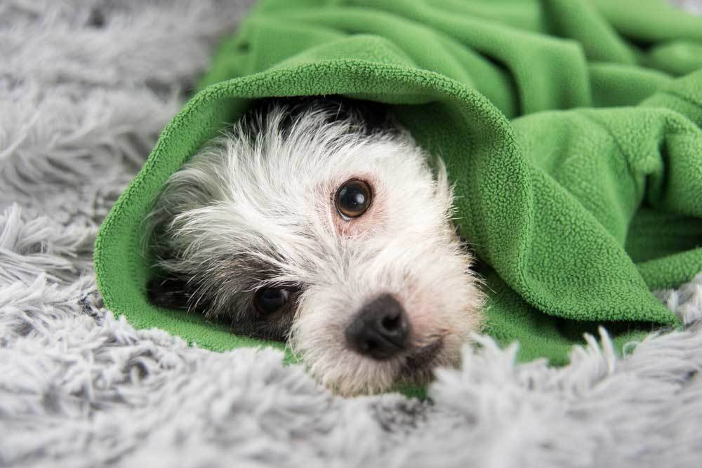 shaggy dog laying down wrapped in green blanket