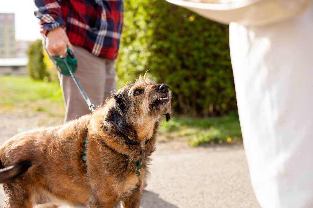 Dog on leash showing aggression towards person