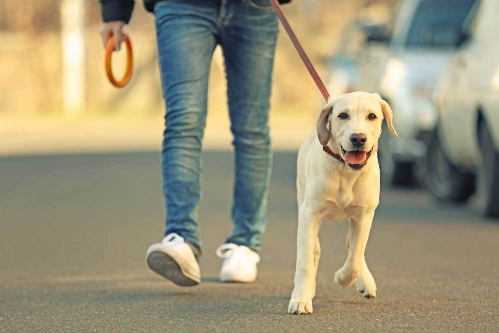 Yellow Labrador Retriever on leash being walked by human