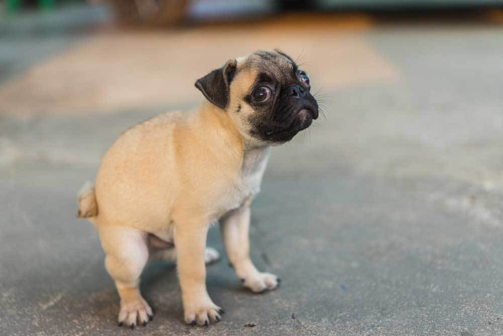 Pug Puppy Pooping