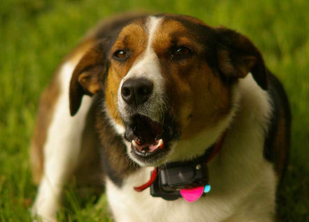 Dog wearing a anti bark collar while barking