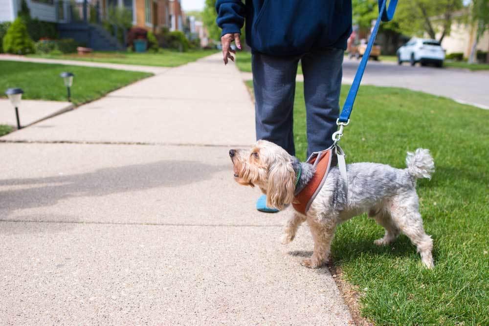 Yorkie on leash barking while on walk