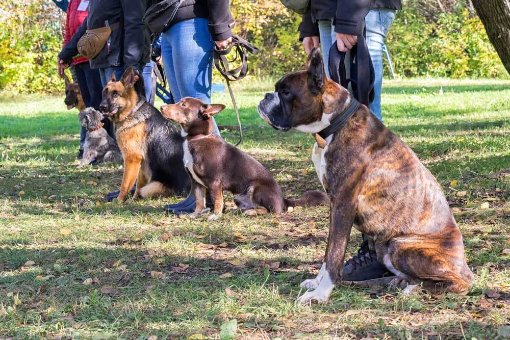 Lineup of dogs on leashes being trained.