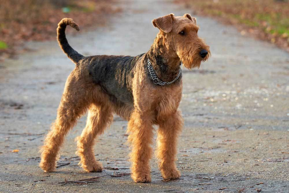 Airedale Terrier standing on pathway