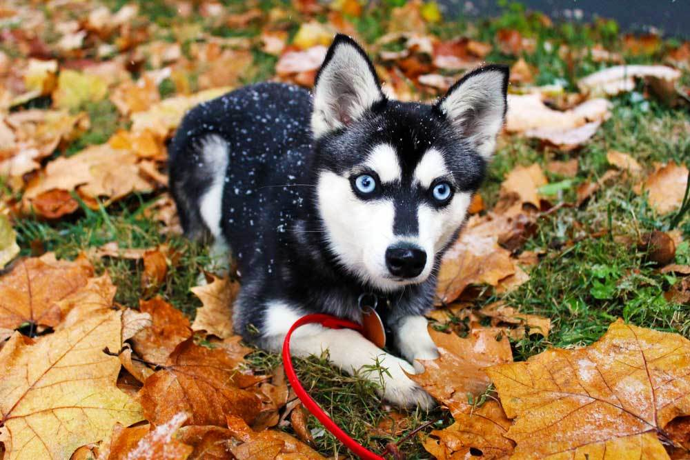 Alaskan Klee Kai laying in leaf covered grass