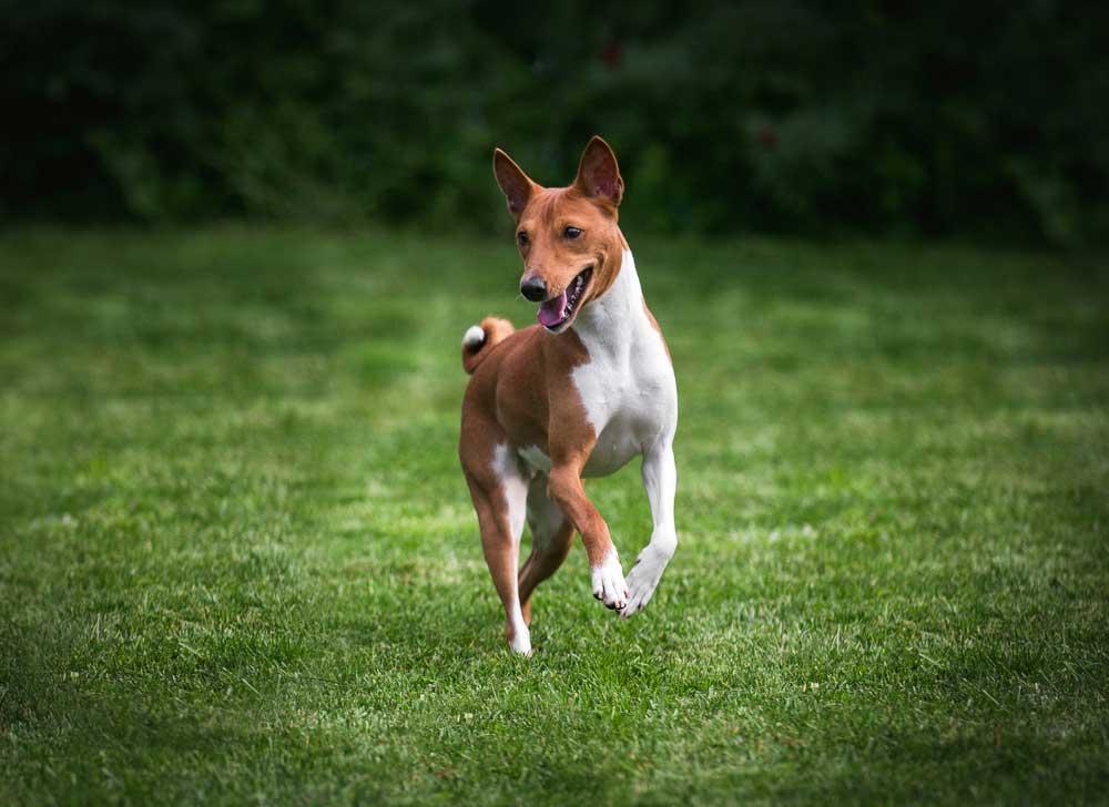 Basenji jumping in grass field