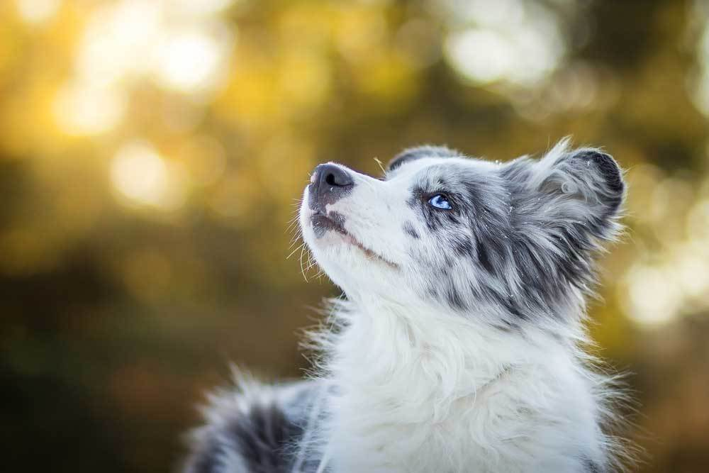 Border Collie looking up at the sky