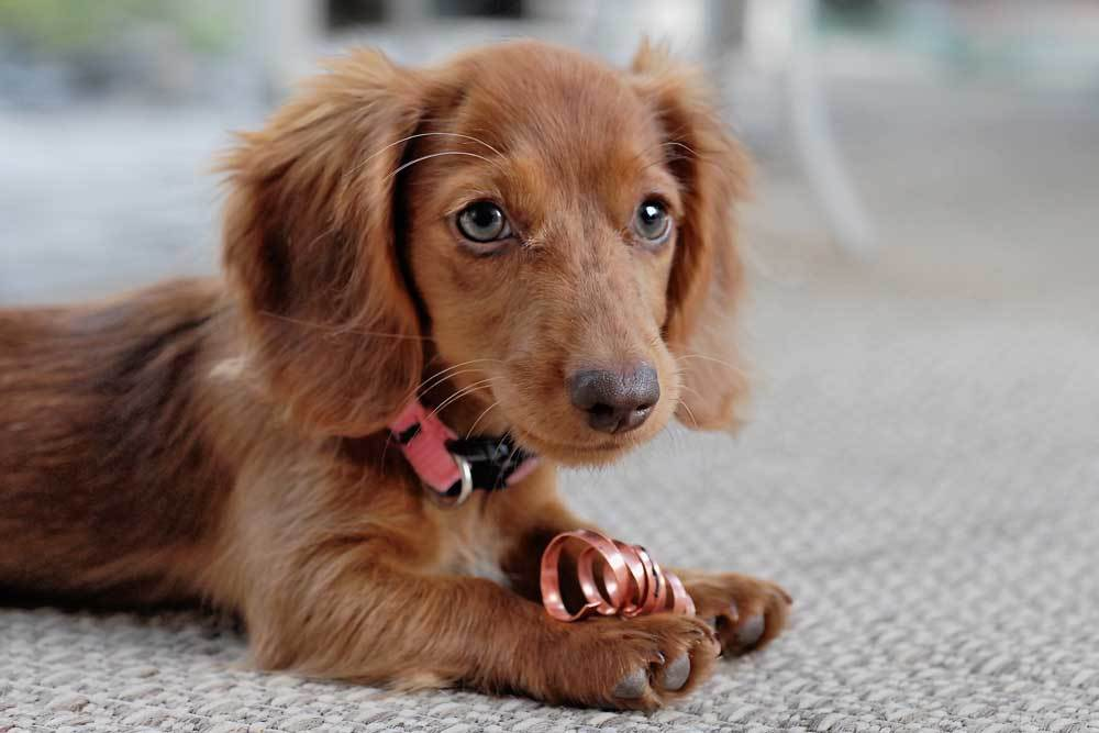 Dachshund laying on carpeted floor