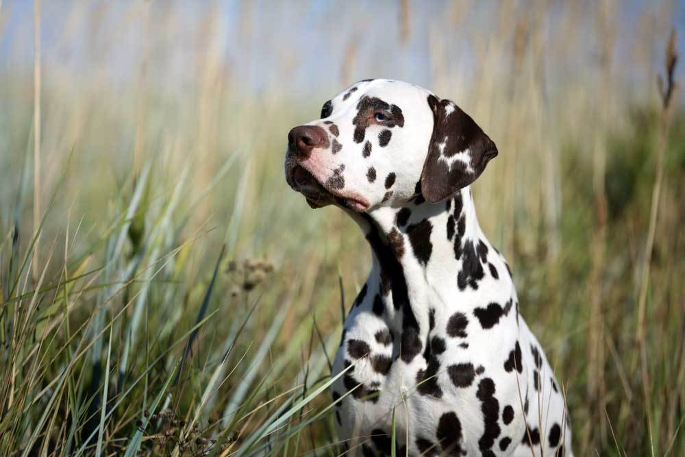 Dalmatian in tall weeds and grass