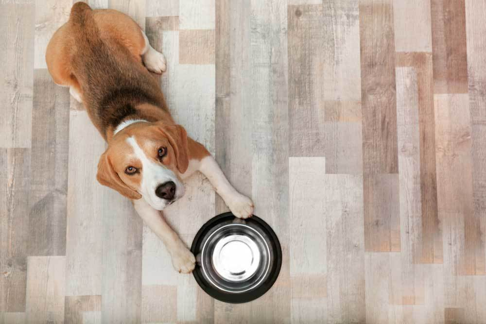 overhead view of beagle laying on hard wood floor with empty metal food bowl