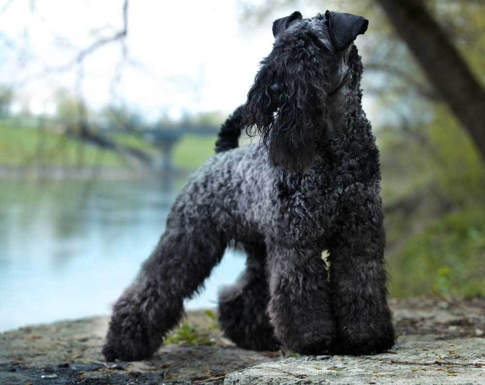 Kerry Blue Terrier standing on the back of a river
