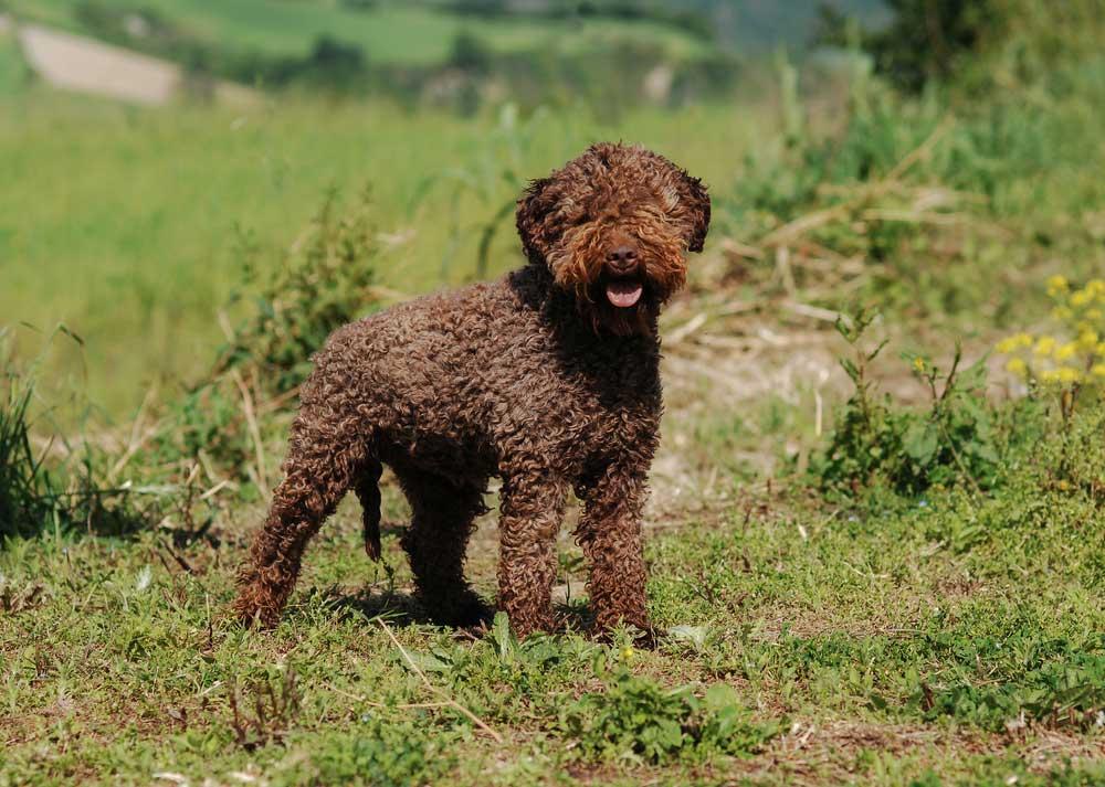 Lagotto Romagnolo standing on a grassy hill