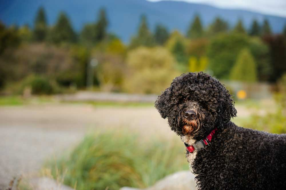 Head shot of Portuguese Water Dog with nature background