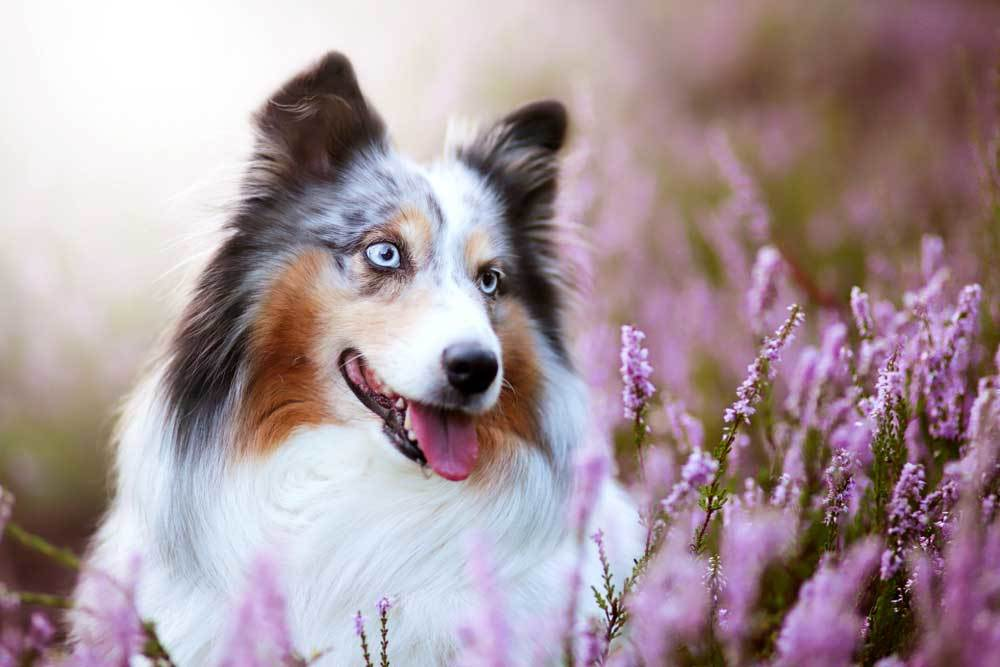 Shetland Sheepdog in field of purple flowers