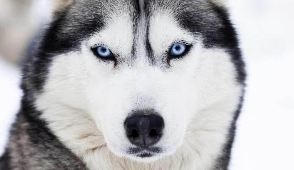 Close up of Siberian Husky's blue eyes