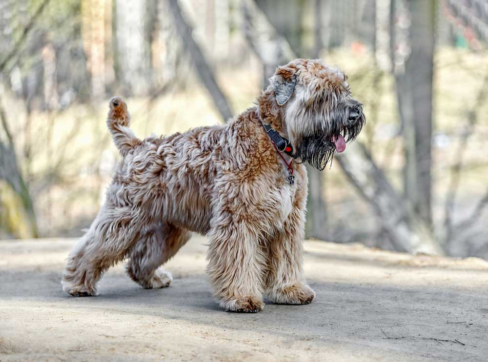 Soft-Coated Wheaten Terrier standing on boulder in forrest