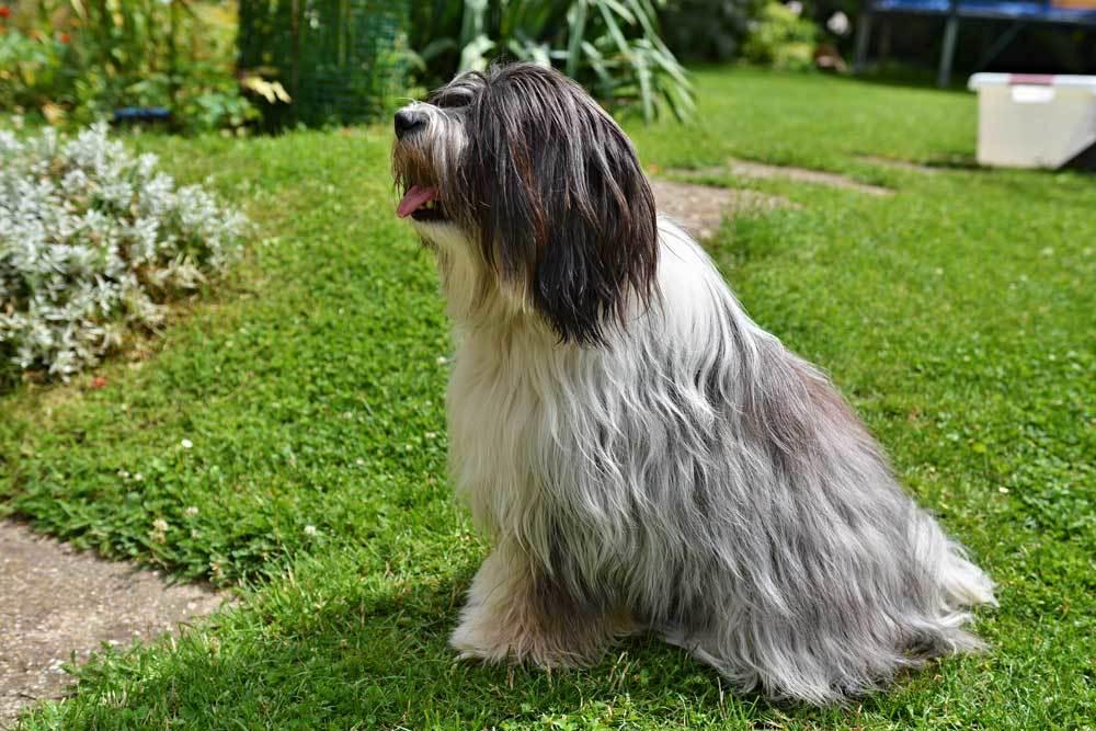 Tibetan Terrier sitting on grass in yard