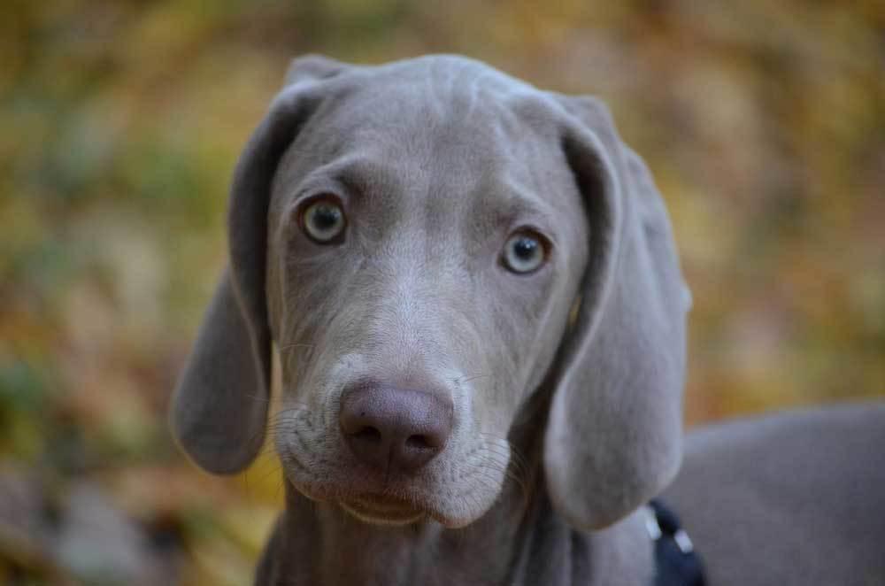 Close up of Weimaraner puppy with blue eyes