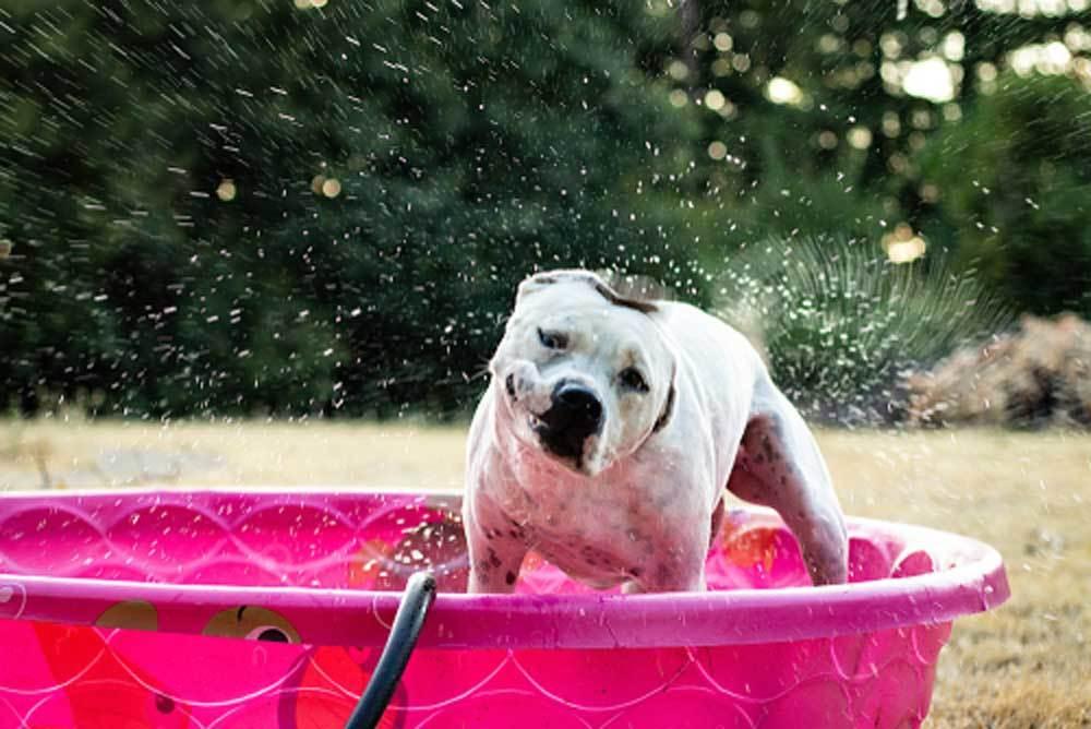 White dog in pink kiddie pool shaking off water