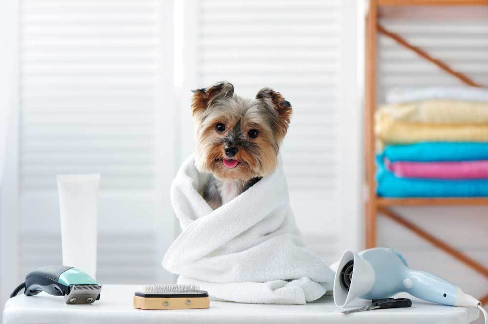 Yorkie puppy wrapped in towel at groomer