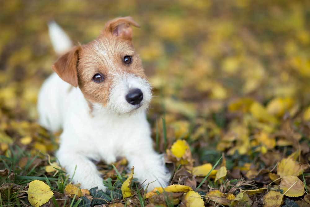 Jack Russell Terrier Puppy laying in leaf covered grass