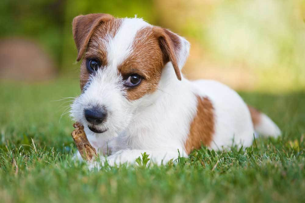 Jack Russell Terrier chewing unknown object in grass