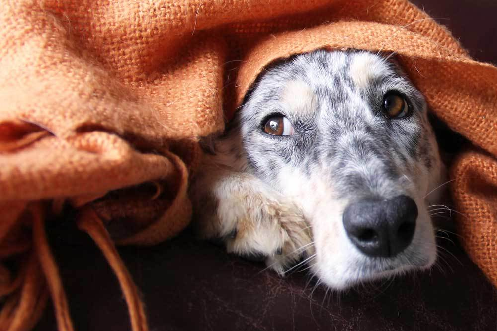 dog with head poking from under orange blanket looking ill
