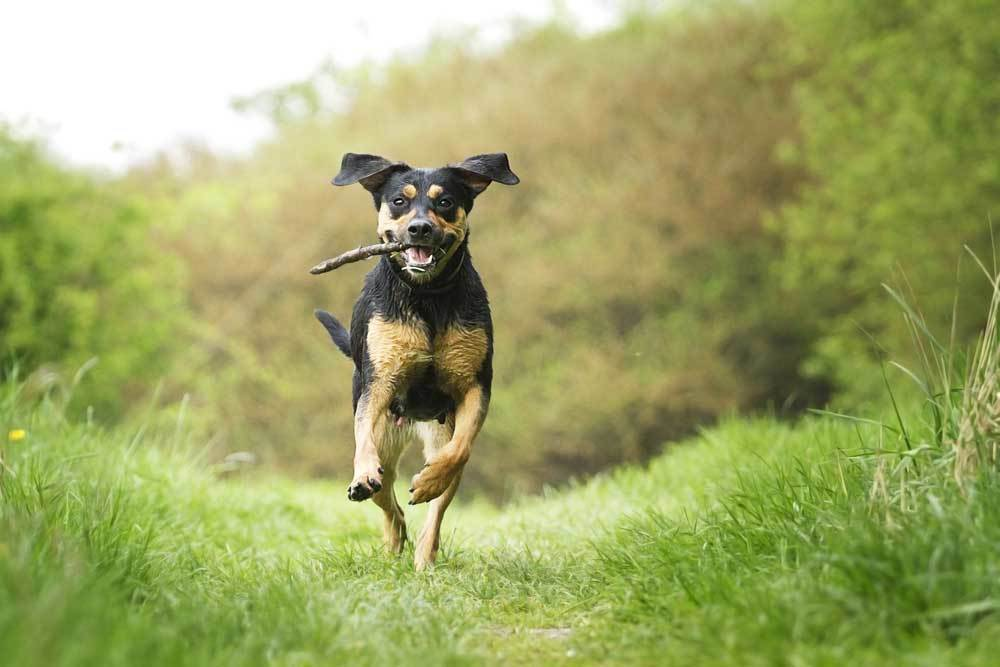 dog running down grass path with stick in its mouth