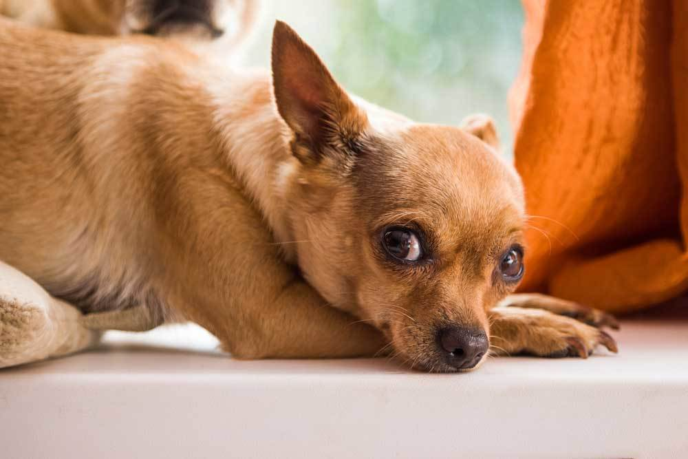 fawn colored Chihuahua with head resting on front paws