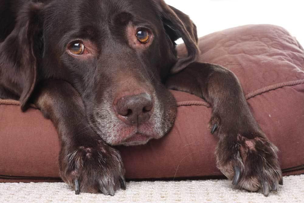 Senior dog Chocolate Lab resting on dog bed