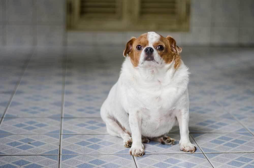 Overweight dog sitting on tile floor