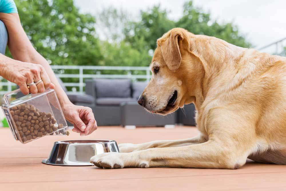 Person pouring food into dog bowl for yellow lab