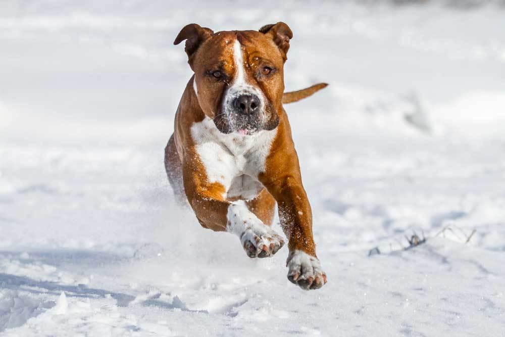 American Pit Bull Terrier running in snow