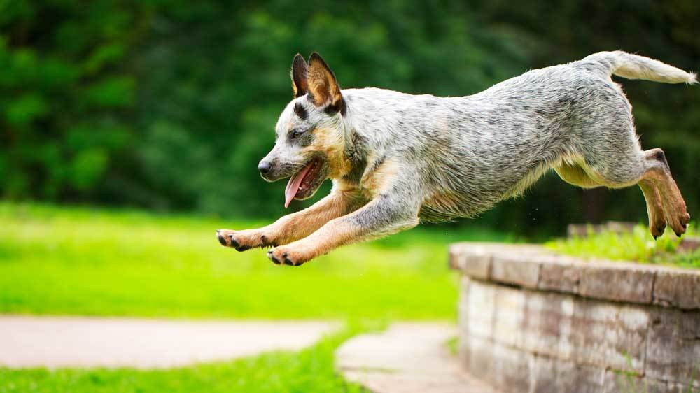 Australian Cattle Dog jumping obstacle in yard