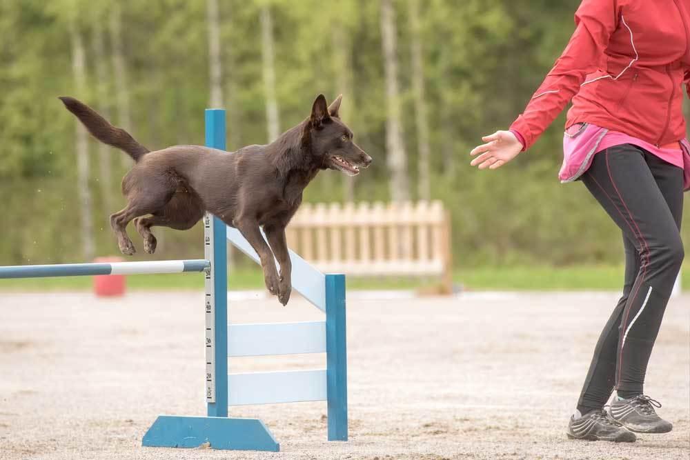 Australian Kelpie jumping hurdles lead by handler