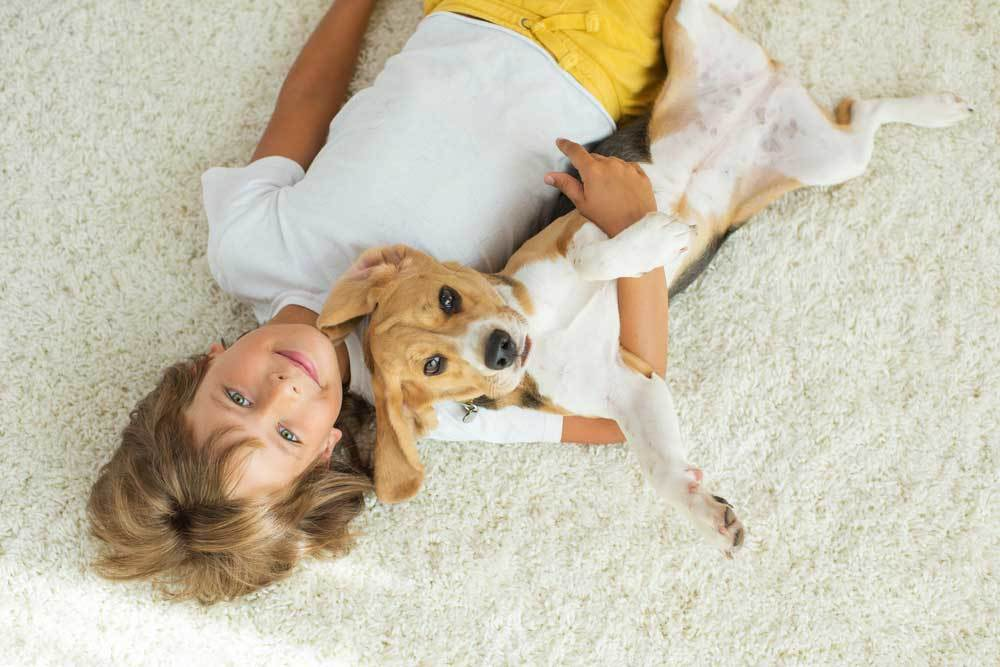 Beagle laying on carpet with young child
