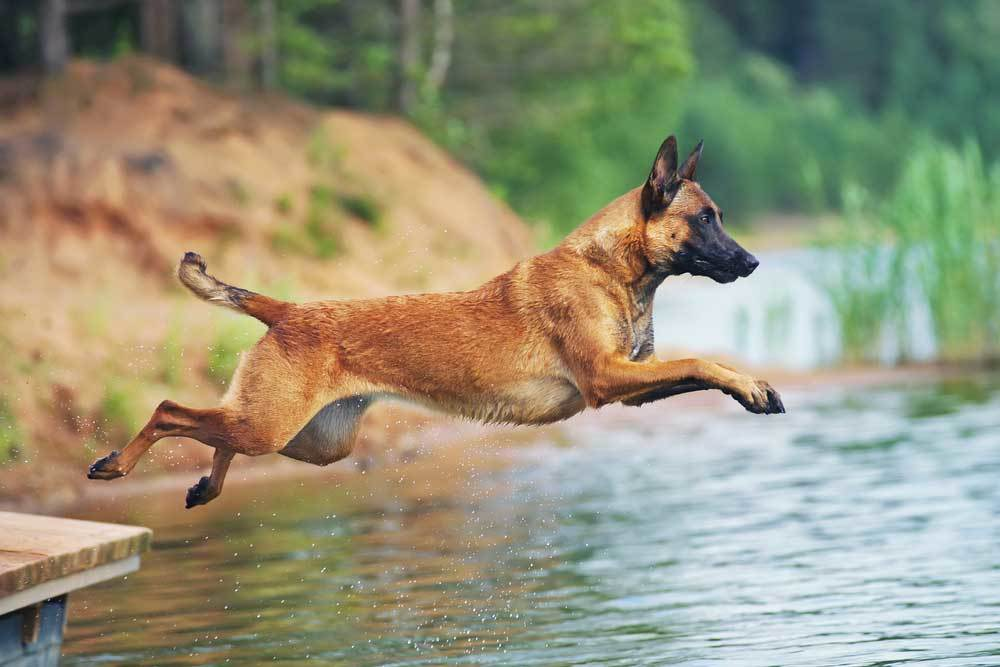 Belgian Malinois jumping from dock into water
