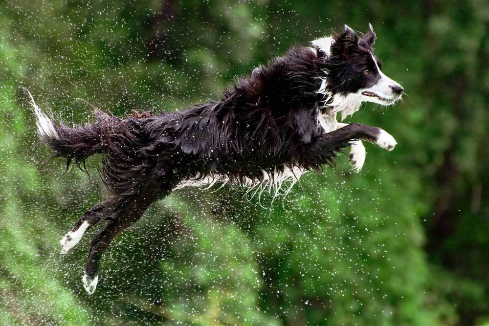 Border Collie jumping through air into water