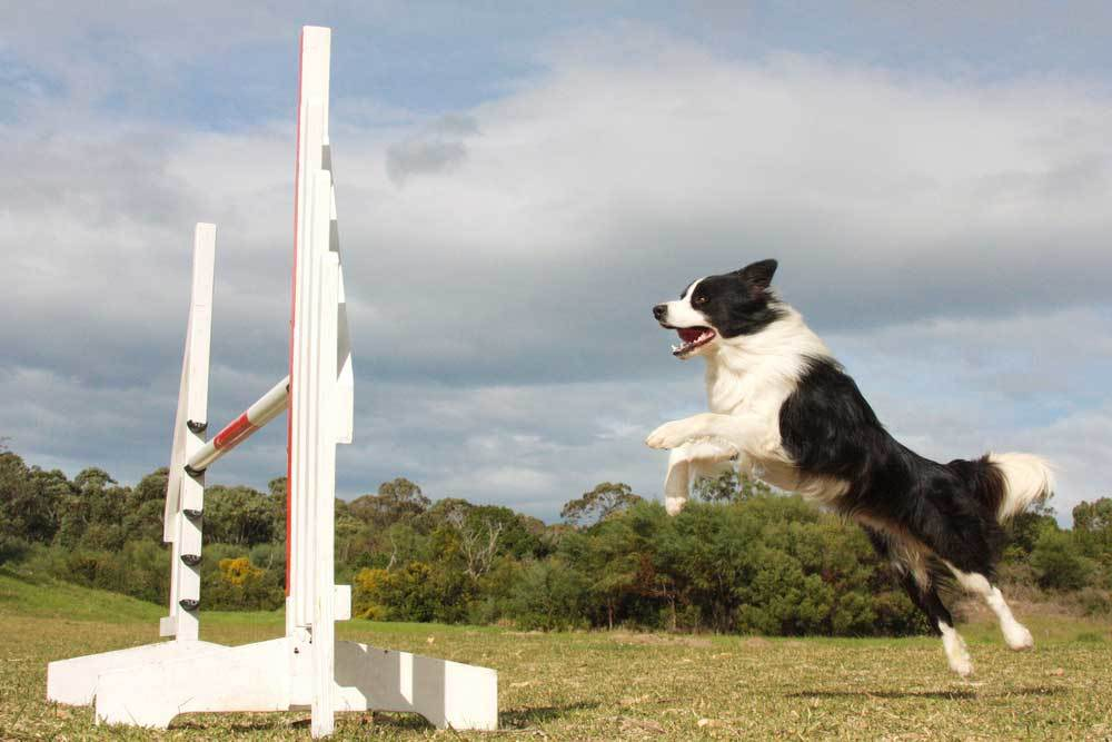 Border Collie approaching hurdle to jump