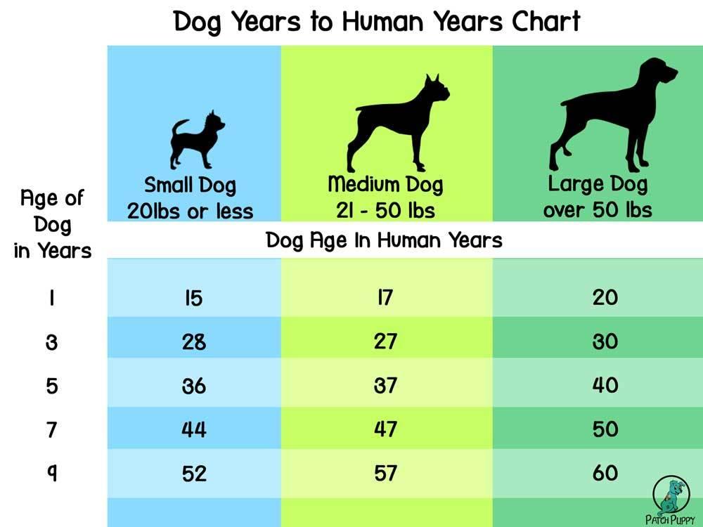 Dog Years to Human Years Chart